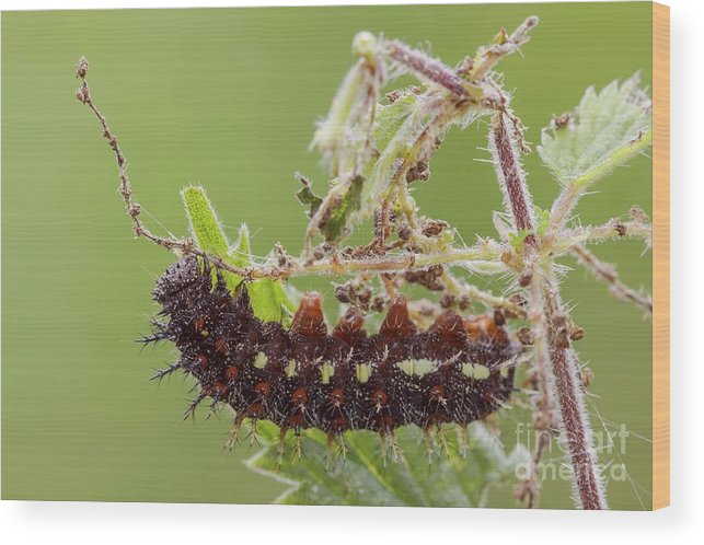 Arthropod Wood Print featuring the photograph Red Admiral Caterpillar by Heath Mcdonald/science Photo Library