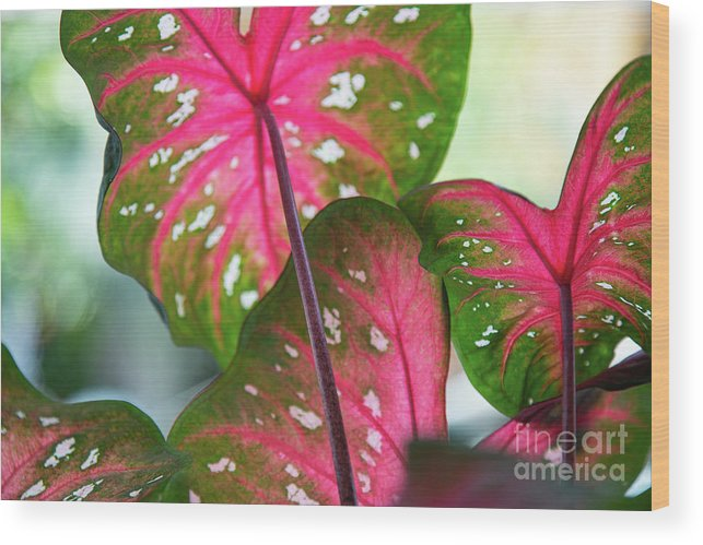 Caladium Wood Print featuring the photograph Reflections On The Calming Of Pink by Marilyn Cornwell