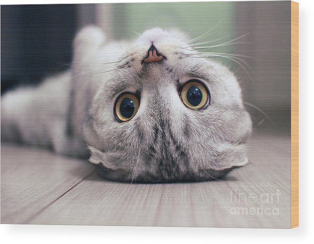 Cat's Wood Print featuring the photograph Scottish Fold Cat Lying On The Back by Zossia