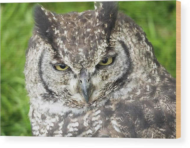 African Spotted Eagle-owl Wood Print featuring the photograph Spotted Eagle Owl by James Lamb