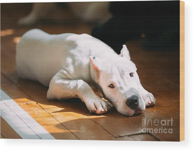 Bred Wood Print featuring the photograph The Dogo Argentino Also Known As The by Grisha Bruev
