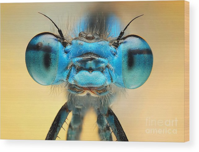 Damesfly Wood Print featuring the photograph The Picture Shows A Beautiful Damesfly by Ireneusz Waledzik