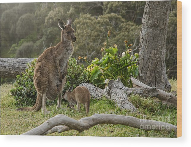 Small Wood Print featuring the photograph Two Grey Kangaroos In Australian by Mastersky