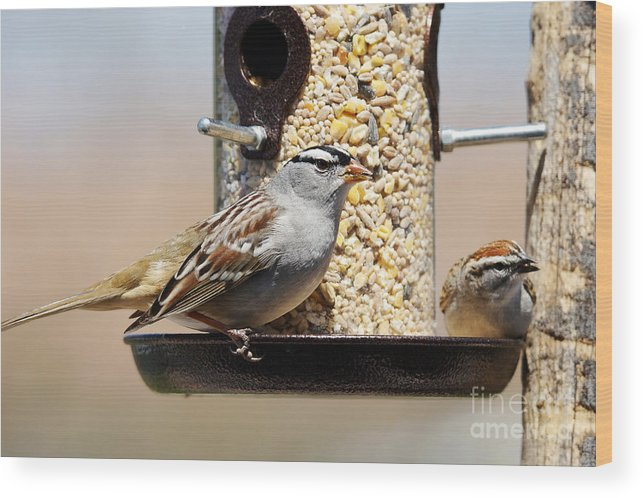 Plumage Wood Print featuring the photograph White-crowned Sparrow, Zonotrichia by Sylvie Bouchard
