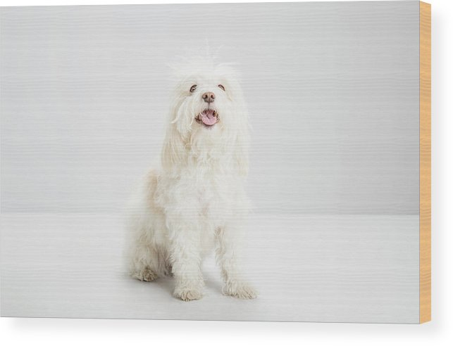 Pets Wood Print featuring the photograph White Havanese Dog, Looking To Camera by Jw Ltd