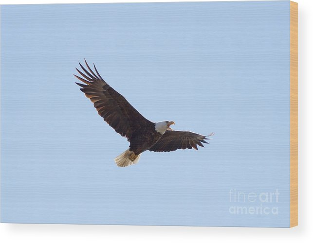Eagle Wood Print featuring the photograph Bald Eagle Calling by Lori Tordsen