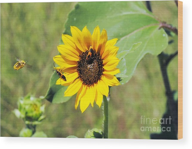 Wood Print featuring the photograph Bee Sunflower by Brandon Finister
