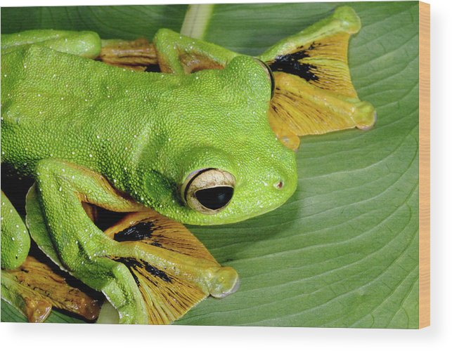 Rhacophorus Nigropalmatus Wood Print featuring the photograph Wallace's Flying Frog by Sinclair Stammers/science Photo Library