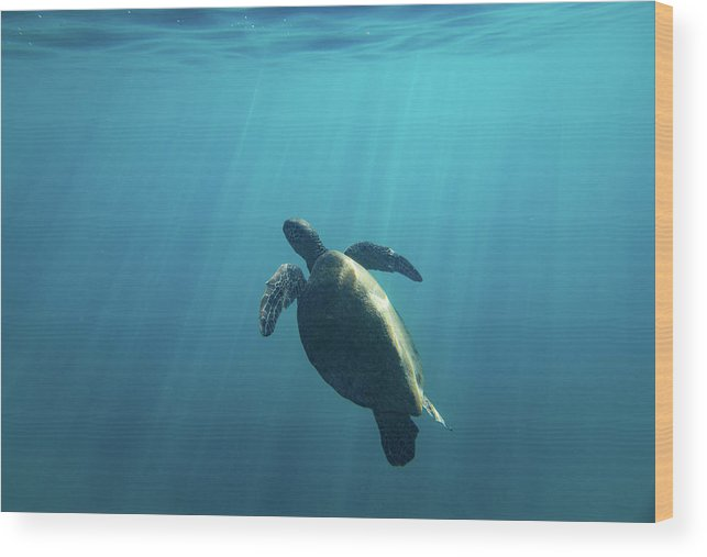 Photography Wood Print featuring the photograph Green Sea Turtle Swimming by Animal Images