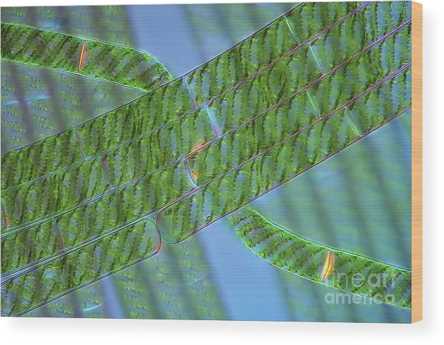 Algae Wood Print featuring the photograph Spirogyra Algae, Light Micrograph by Marek Mis