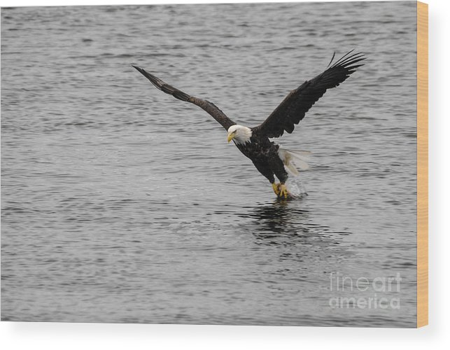 Bald Eagle Wood Print featuring the photograph Dinner Time by Robert Smice
