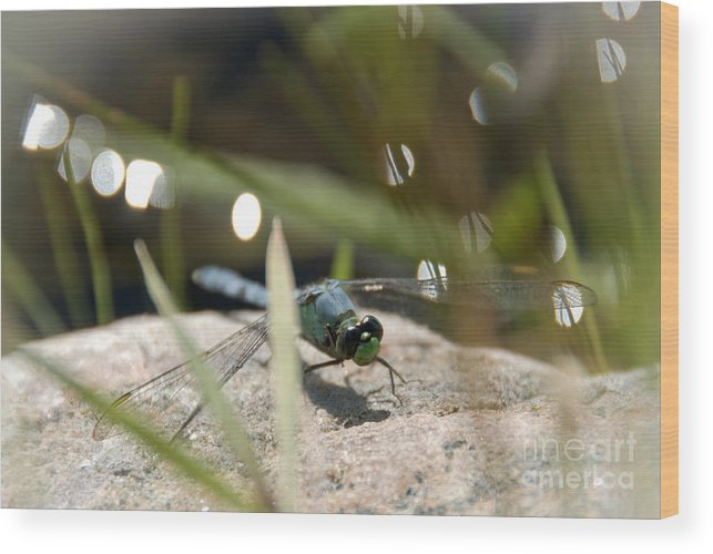 Dragonfly Wood Print featuring the photograph Watching by Cheryl Baxter
