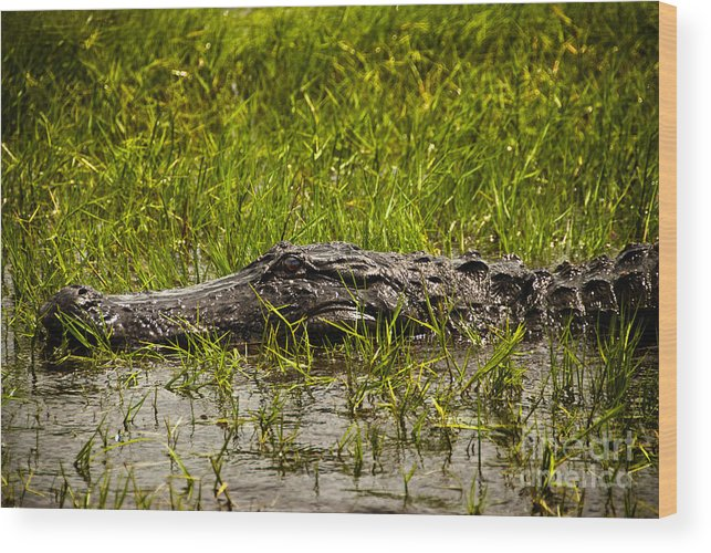 Cindy Tiefenbrunn Wood Print featuring the photograph Alligator Amoungst Us by Cindy Tiefenbrunn