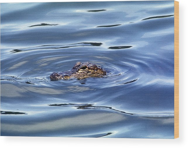 Nature Wood Print featuring the photograph Alligator In Blue by Robert R Ferguson