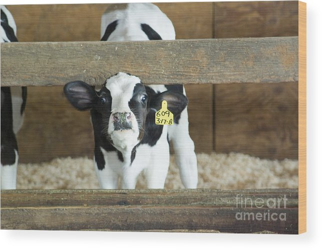 Cow Wood Print featuring the photograph Baby Cow by Louise Magno