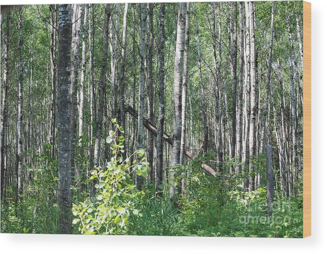 Abstract Wood Print featuring the photograph Birch Forest by Mark McReynolds