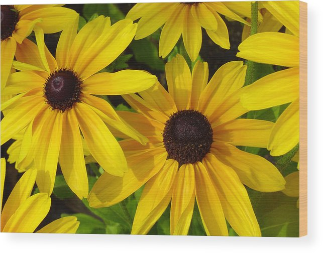 Black Eyed Susan Wood Print featuring the photograph Black Eyed Susans by Suzanne Gaff