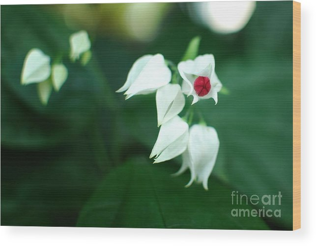 Clerodendrum Wood Print featuring the photograph Bleeding Heart Vine Blossom by Floyd Menezes