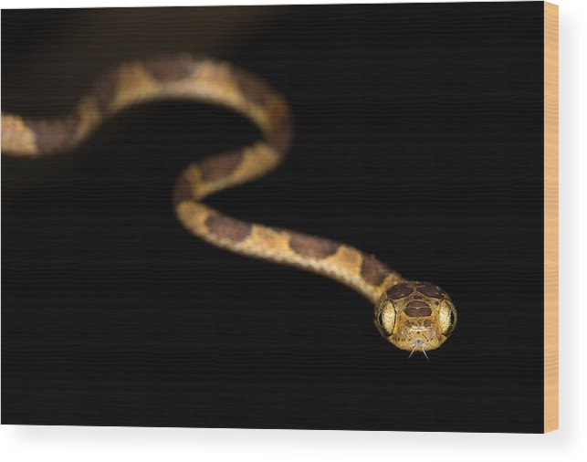 Blunthead Tree Snake Wood Print featuring the photograph Blunthead Tree Snake by Max Waugh