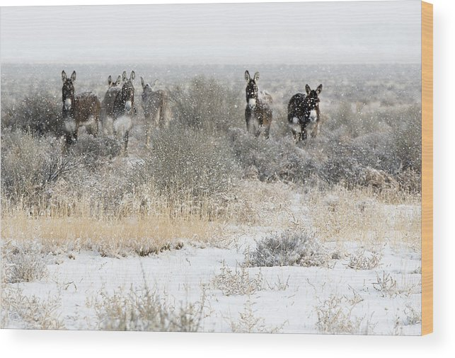Animals Wood Print featuring the photograph Burros In The Snow by Gordon Ripley