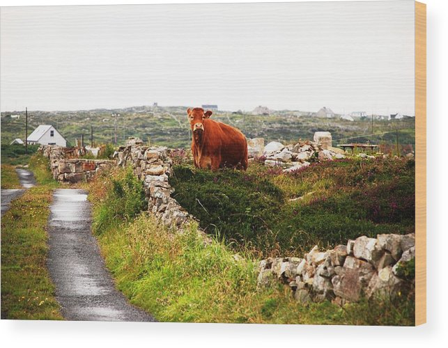 Red Wood Print featuring the photograph Connemara Cow by Charlie and Norma Brock