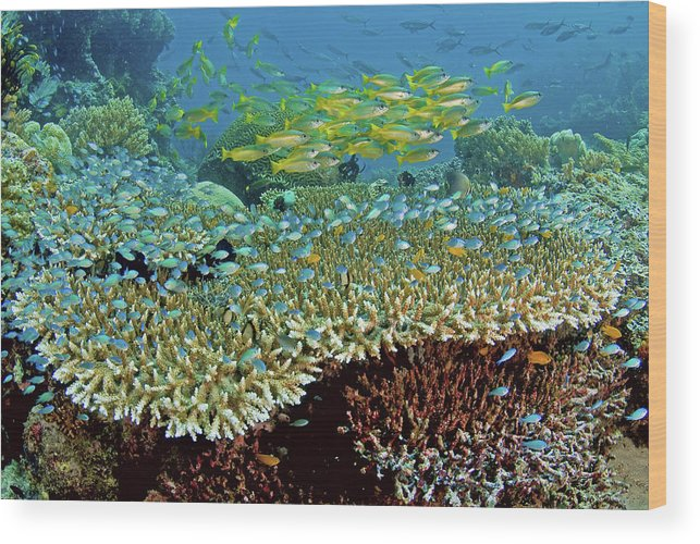 Animal Wood Print featuring the photograph Damselfish (pomacentridae by Jaynes Gallery