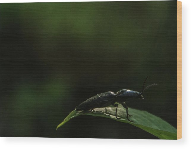 Elateridae Wood Print featuring the photograph Elateridae Beetle At Sunrise 1 by Douglas Barnett