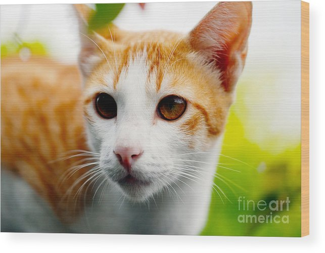 Tabby Cat Photo Wood Print featuring the photograph Getting Ready For The Hunt by Ivy Ho