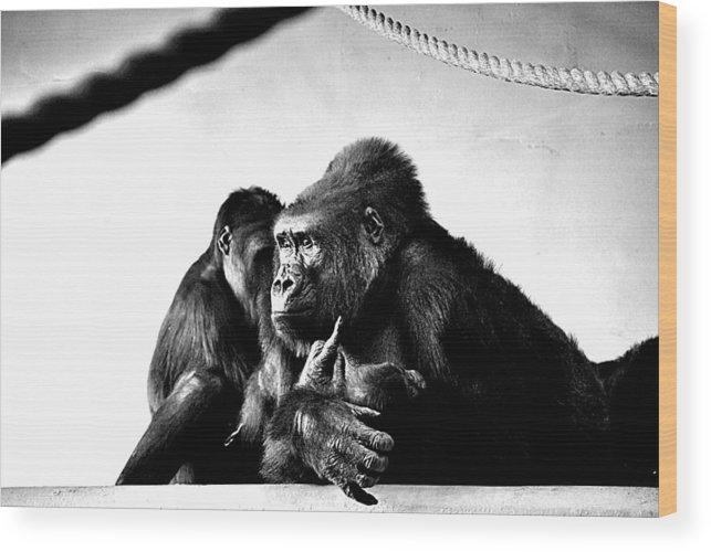 Gorillas Wood Print featuring the photograph Gorillas by AR Harrington Photography
