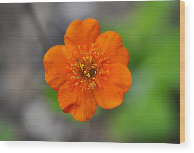 Beautiful Photos Wood Print featuring the photograph Grecian Rose Close 1 by Roger Snyder