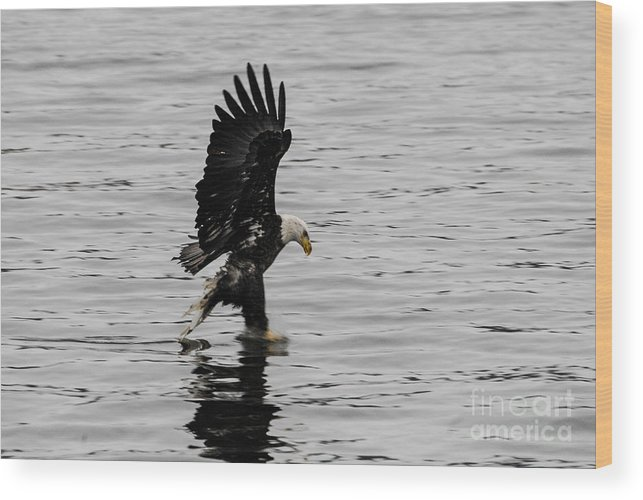 Bald Eagle Wood Print featuring the photograph I Got You Now by Robert Smice