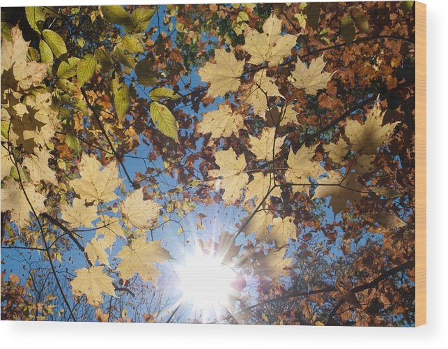 Fall Wood Print featuring the photograph Light Through The Trees by Shelley Thomason