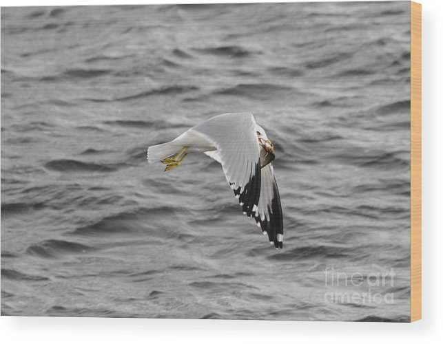 Gull Wood Print featuring the photograph Mmm Dinner by Robert Smice