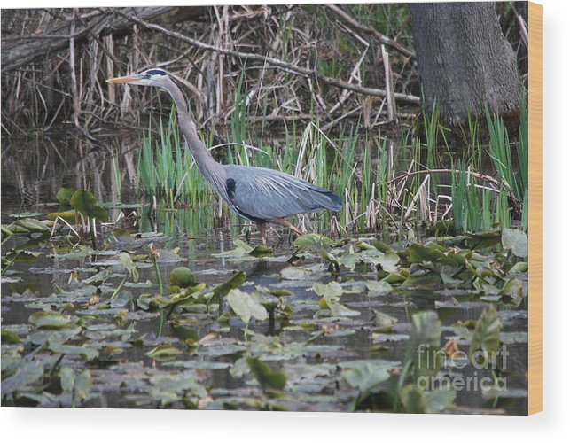 Great Blue Heron Wood Print featuring the photograph On The Prowl by Tim Hauser