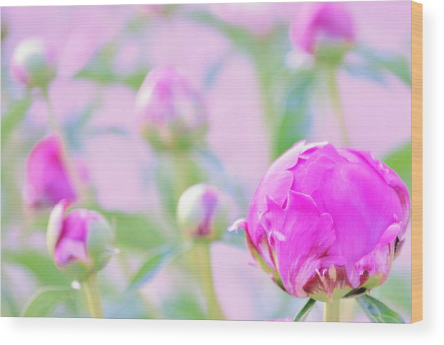 Art Wood Print featuring the photograph Peony Buds by Joan Han