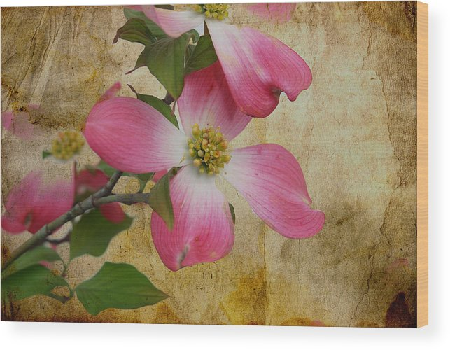 Pink Dogwood Bloom Wood Print featuring the photograph Pink Dogwood Bloom by Todd Hostetter