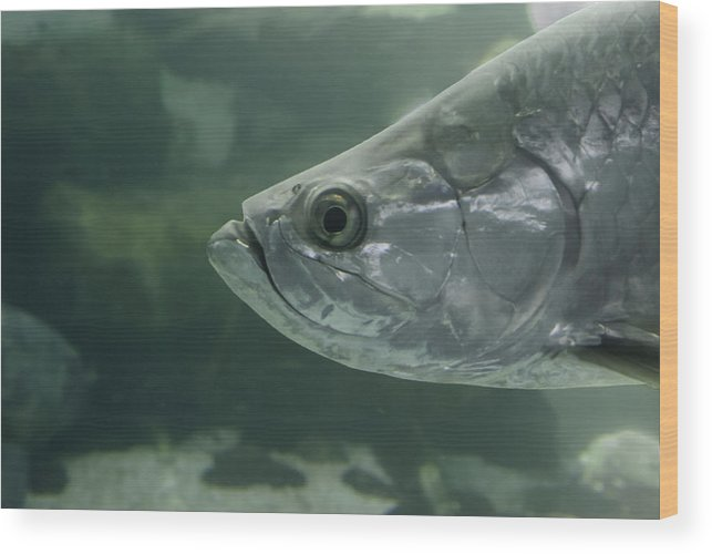 Mote Wood Print featuring the photograph Silver Tarpon by Gene Norris