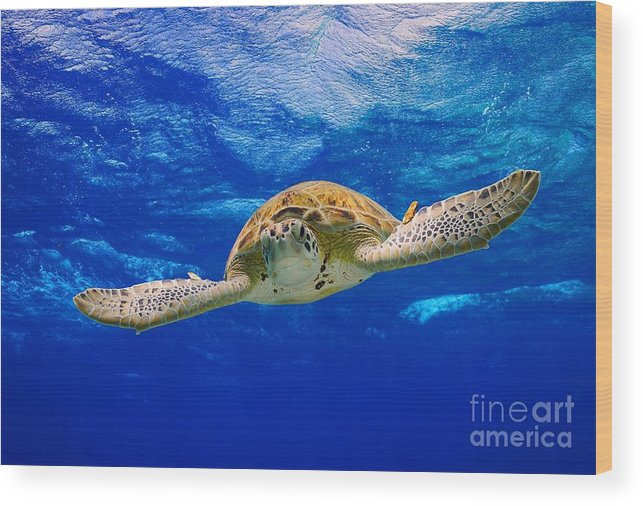 Diving Wood Print featuring the photograph Spread Your Wings by Isabelle Kuehn