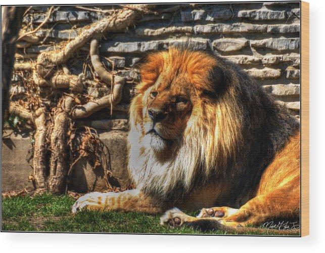 Lion Wood Print featuring the photograph The King Lazy Boy At The Buffalo Zoo by Michael Frank Jr