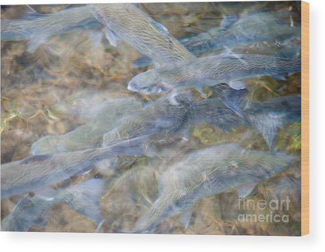 Trout Fish Wood Print featuring the photograph Trout Pond Abstract by Optical Playground By MP Ray