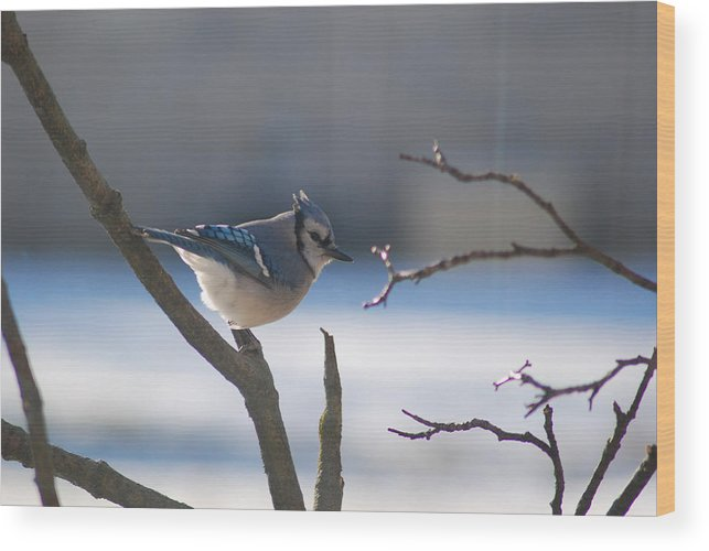 Snow Wood Print featuring the photograph Watching For Food by Wanda Jesfield