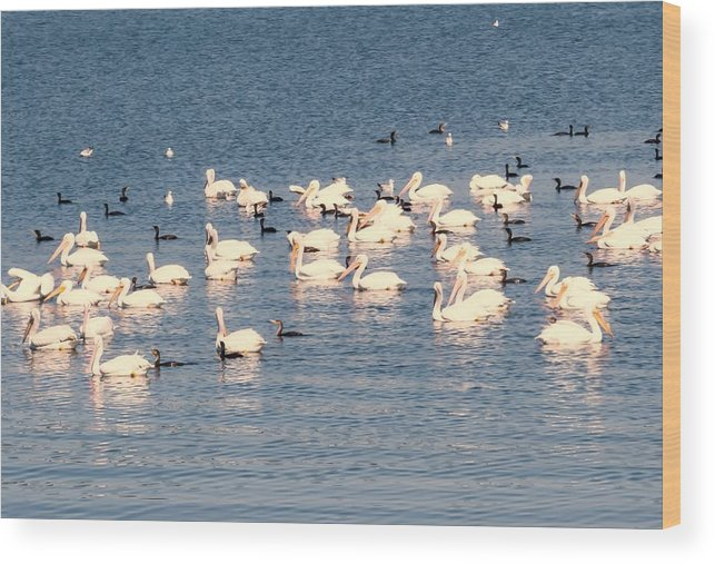 Pelican Wood Print featuring the photograph White Pelicans by Zina Stromberg