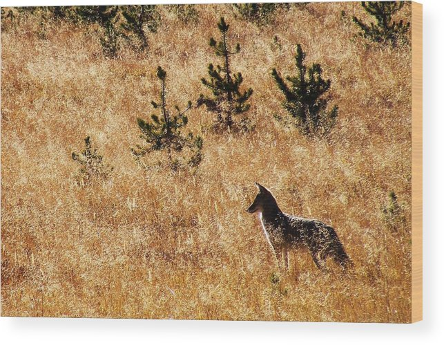 Yellowstone Wood Print featuring the photograph Yellowstone Coyote by Indigo Wild Photography