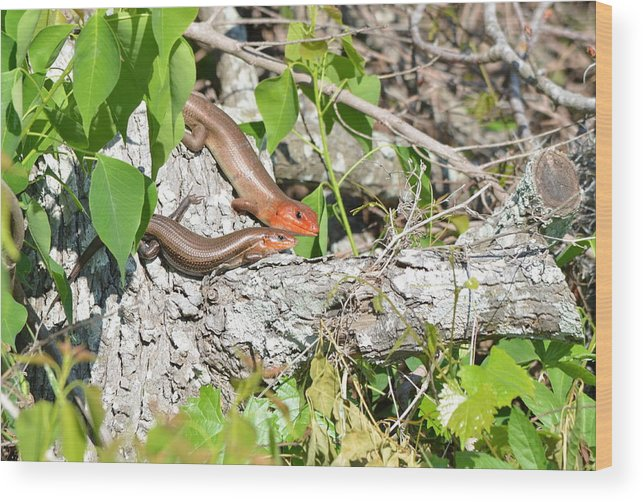 Skink Wood Print featuring the photograph Broad Headed Skinks by Kathy Gibbons