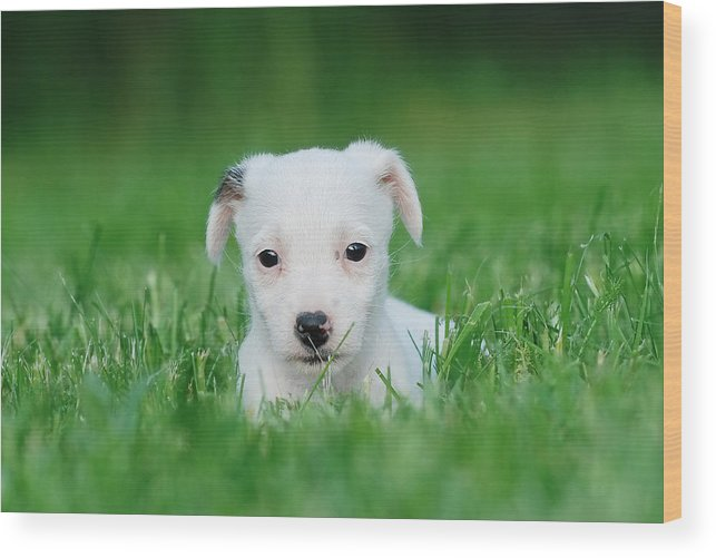 Animal Wood Print featuring the photograph Jack Russell Terrier Puppy by Waldek Dabrowski