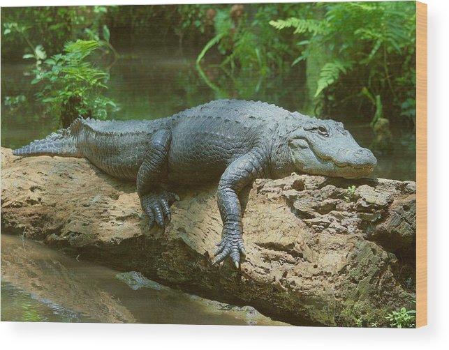 Gator Wood Print featuring the photograph Big Gator On A Log by Myrna Bradshaw