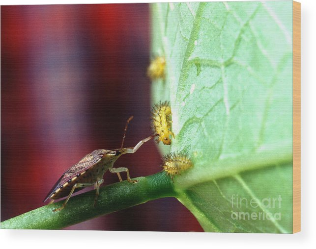 Mexican Bean Beetle Wood Print featuring the photograph Biocontrol Of Bean Beetle by Science Source