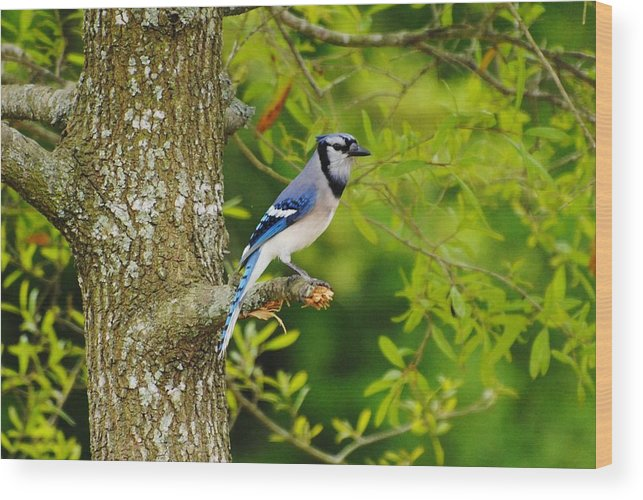 Wildlife Wood Print featuring the photograph Blue Jay by John Blanchard