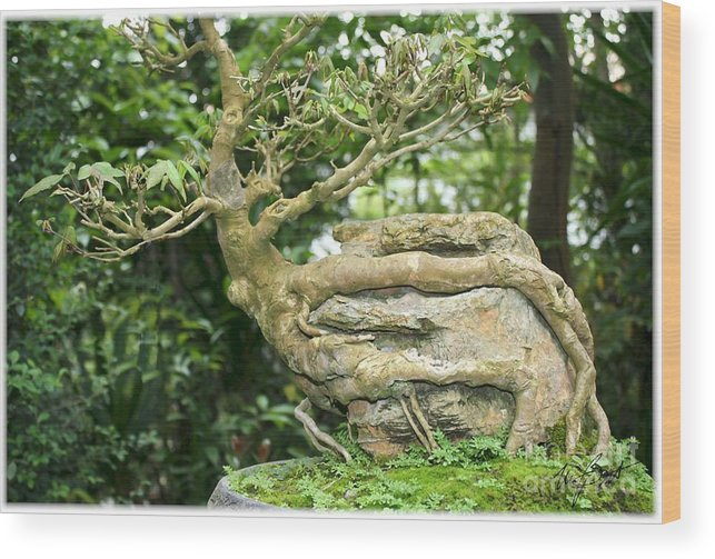 Tree Wood Print featuring the digital art Bonsai Root And Stone by Maxine Bochnia