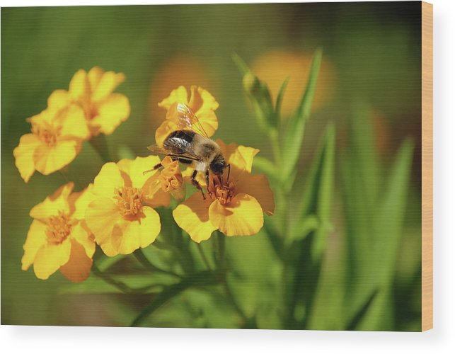 Bumble Bee Wood Print featuring the photograph Busy Bee by Kathy Gibbons